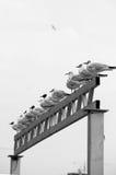 Havsfåglar i linje Arkivbilder