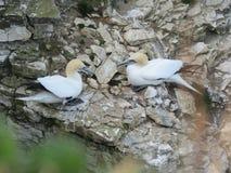 Havsfåglar på den Bempton fågelfristaden Royaltyfri Foto