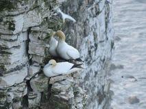 Havsfåglar på den Bempton fågelfristaden Arkivbilder