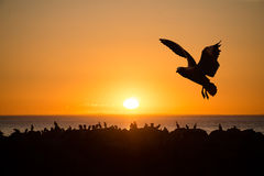 Havsfåglar på solnedgången Royaltyfria Foton