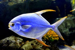 Havsfisk i akvarium Fotografering för Bildbyråer