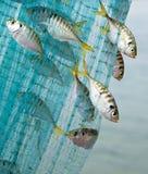 Havsfisk som fångas på det netto arkivbilder