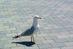 Havsfiskmås Royaltyfri Foto