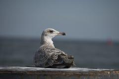 Havsfiskmås Fotografering för Bildbyråer