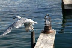 Havsfiskmås Royaltyfri Fotografi