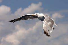 Havsfiskmås i flyg Royaltyfria Bilder