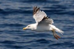 Havsfiskmås i flyg Fotografering för Bildbyråer
