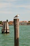 Havsfiskmås i Venedig Royaltyfri Fotografi