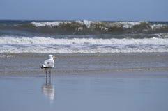 Havsfiskmås och vågor Arkivfoton