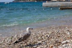 Havsfiskmås på stranden i Kroatien Royaltyfri Bild
