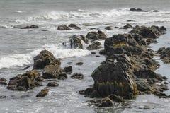 Havsfiskmås som döljas på Rocky Coast av Rhode - ö Arkivbilder