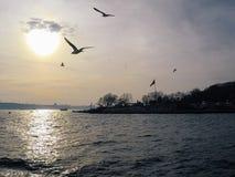 Havsfiskmåsar flyger bak ett skepp i solnedgånghimmel arkivbilder