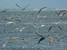 Havsfiskmåsar i flykten Arkivfoto