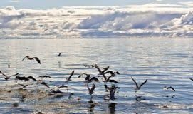 Havsfiskmåsar i havet Fotografering för Bildbyråer