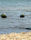 Havsfiskmåsar på den korta träpelaren i havet royaltyfria foton