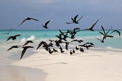 Havsfiskmåsar på kust av en bank på Maldiverna Arkivbild