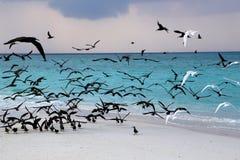 Havsfiskmåsar på kust av en bank på Maldiverna Royaltyfri Foto