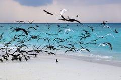 Havsfiskmåsar på kust av en bank på Maldiverna Royaltyfria Foton