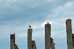 Havsfiskmåsar på träpelarna vid Östersjön royaltyfri foto