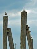 Havsfiskmåsar på träpelarna vid Östersjön arkivfoto