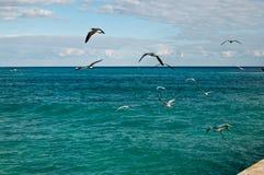 Havsfiskmåsar som bort flyger Fotografering för Bildbyråer