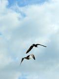 Havsfiskmåsar som flyger till himlen fotografering för bildbyråer