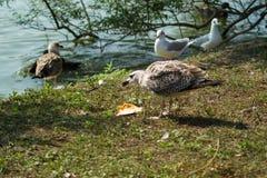 Havsfiskmåsen, fiskmås i flykten Royaltyfria Bilder