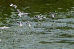 Havsfiskmåsen, fiskmås i flykten Arkivfoton