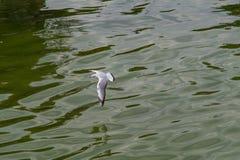 Havsfiskmåsen, fiskmås i flykten Royaltyfri Foto