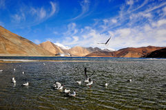 Havsfiskmåsar i Pangong sjön Ladakh Fotografering för Bildbyråer