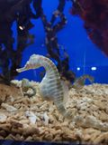 Havshäst i ett akvarium royaltyfria bilder