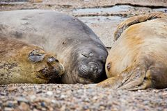 Havshundfamilj som sover på stranden i Argentina arkivbilder