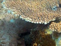 Havskoraller på en tropisk saltvattens- miljö Royaltyfria Foton