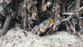 Havskrabba som döljer mellan mangrovar stock video