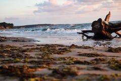 Havskust med gammal trän och havsväxt i Jurkalne Royaltyfria Bilder