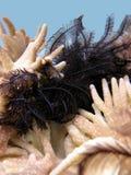 Havslilja Arkivfoton