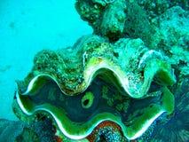 Havsliv - jätte- mussla Arkivfoton
