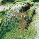 Havsmossa i lågvatten Royaltyfri Bild