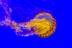 Havsnässla Arkivbild