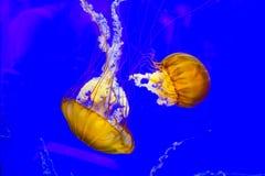 Havsnässla Royaltyfria Bilder