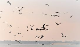 Havsnatur, flocken av seagulls som flyger över havet i sökande av fisken på en dimmig morgon vektor illustrationer