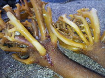 Havsogräs Arkivbilder