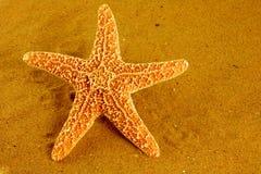 havssjöstjärna Royaltyfri Bild