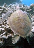 havssköldpadda Royaltyfri Fotografi