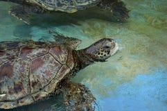 havssköldpadda Royaltyfria Foton
