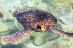 Havssköldpadda Arkivbilder