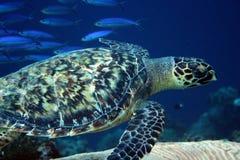 Havssköldpadda Bonaire Royaltyfri Fotografi