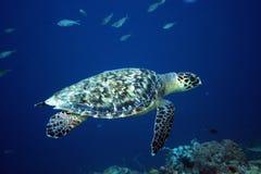 Havssköldpadda Bonaire Arkivfoto