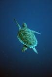 Havssköldpadda Bonaire Royaltyfri Bild
