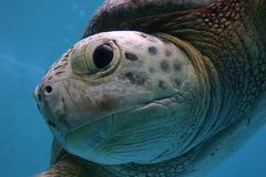 havssköldpadda för vänskapsmatch 3 Fotografering för Bildbyråer